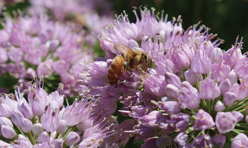 allium summer peek a boo ornamental onion ftimg