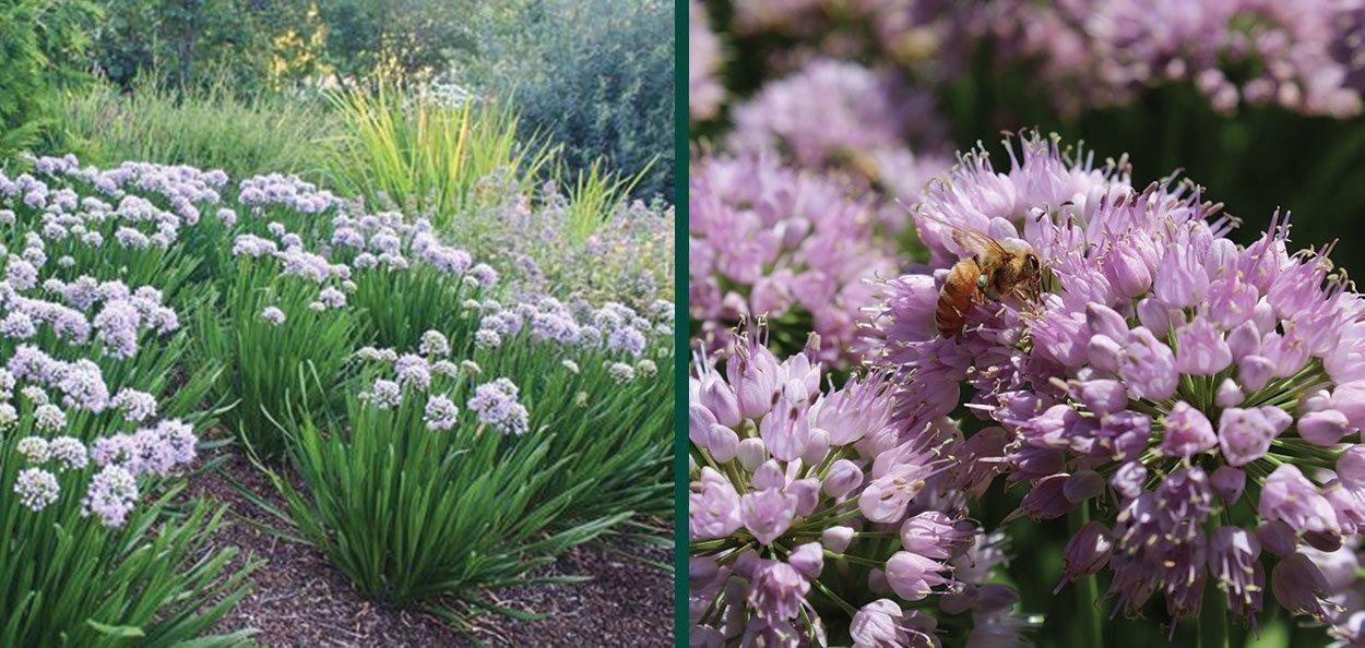 allium summer peek a boo ornamental onion perennial