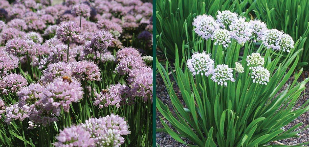 allium summer peek a boo ornamental onion pollinator