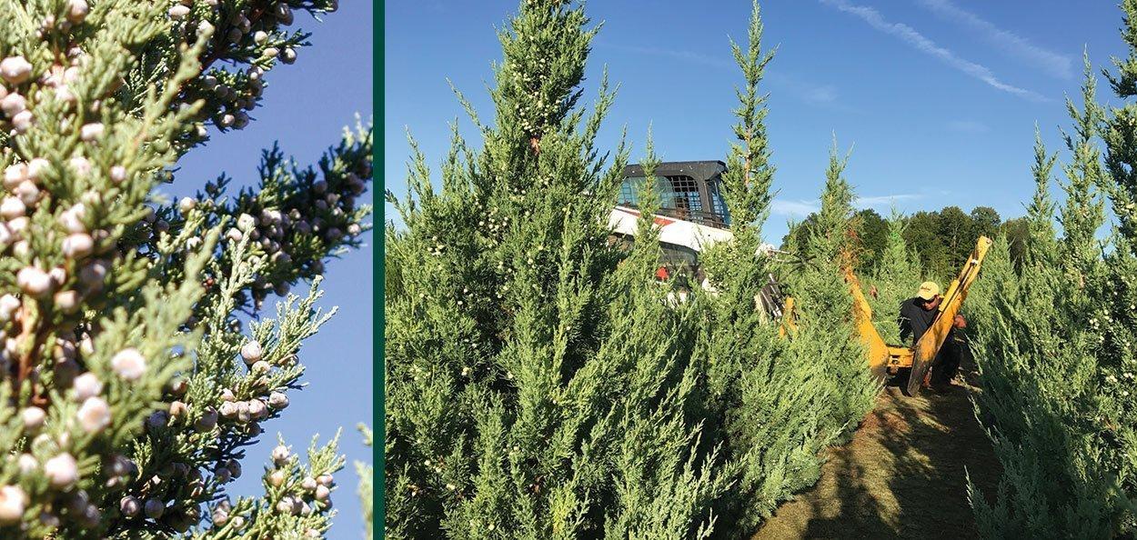 trautman juniper juniperus chinensis evergreen berry cones field digging