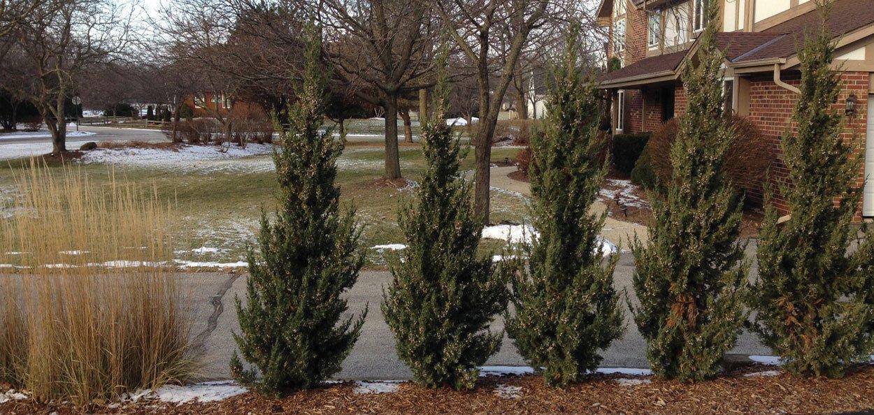 trautman juniper juniperus chinensis evergreen home residential green screen