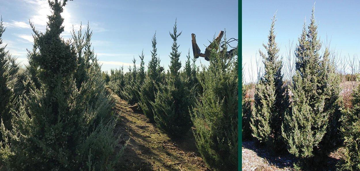 trautman juniper juniperus chinensis johnson's nursery field grown B&B evergreens