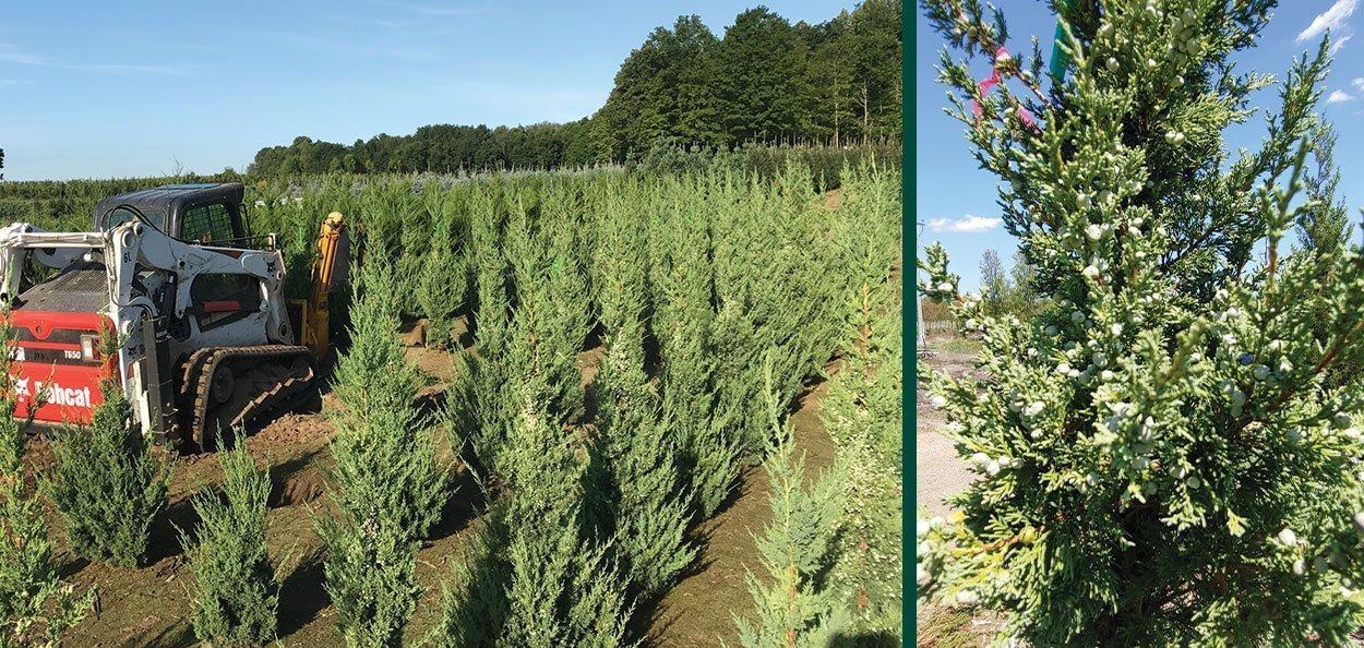 trautman juniper juniperus chinensis johnson's nursery field harvesting evergreens