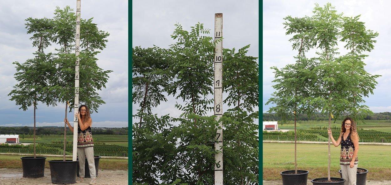 espresso kentucky coffeetree gymnocladus dioica #25 container trees at johnson's nursery in menomonee falls