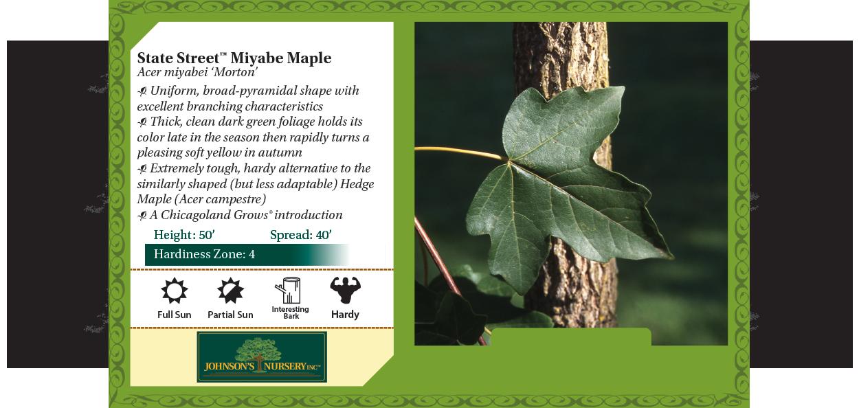 State Street™ Miyabe Maple Acer miyabei 'Morton' benchcard