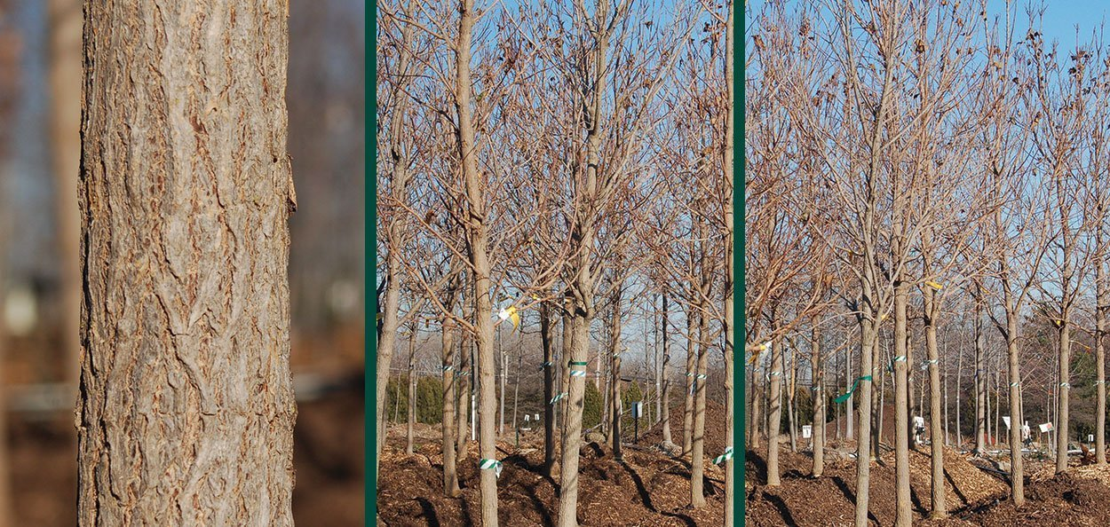 state street miyabei maple acer morton characteristic bark