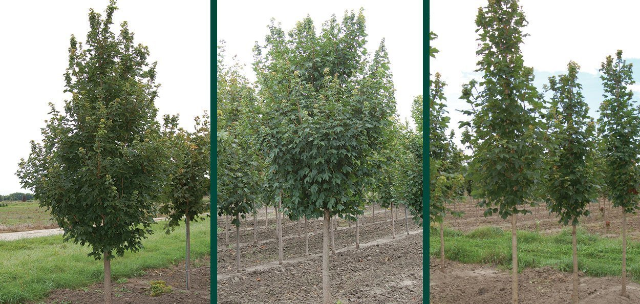 state street miyabei maple acer morton field grown planting trees
