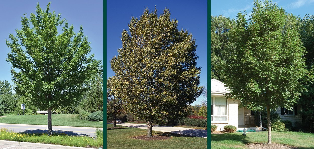 state street miyabei maple acer morton urban trees near me