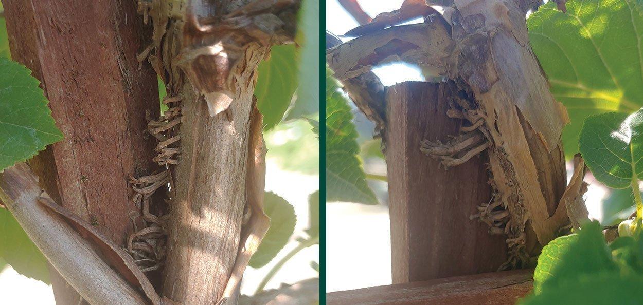 advantageous roots of hydrangea vine