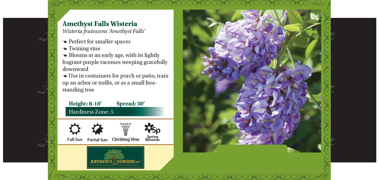 amethyst falls wisteria frutescens vines at johnson's nursery in menomonee falls benchcard