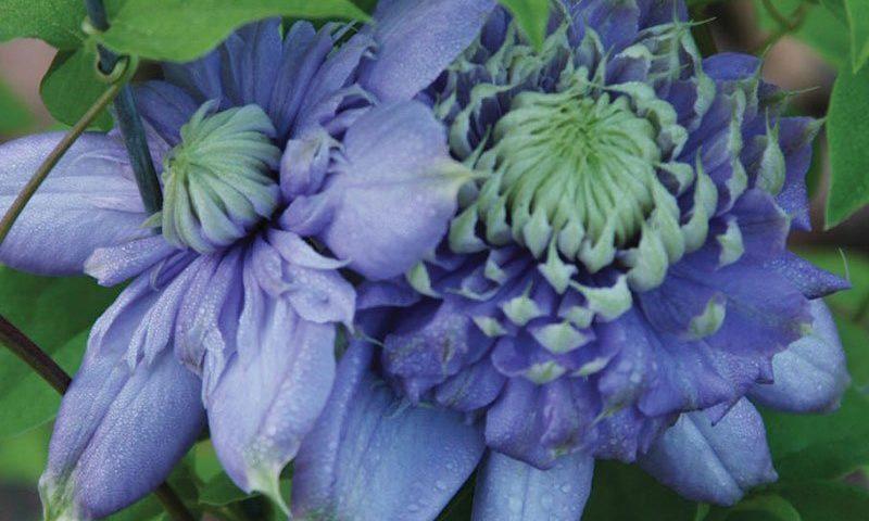 blue light clematis vanso at johnson's nursery in menomonee falls ftimg