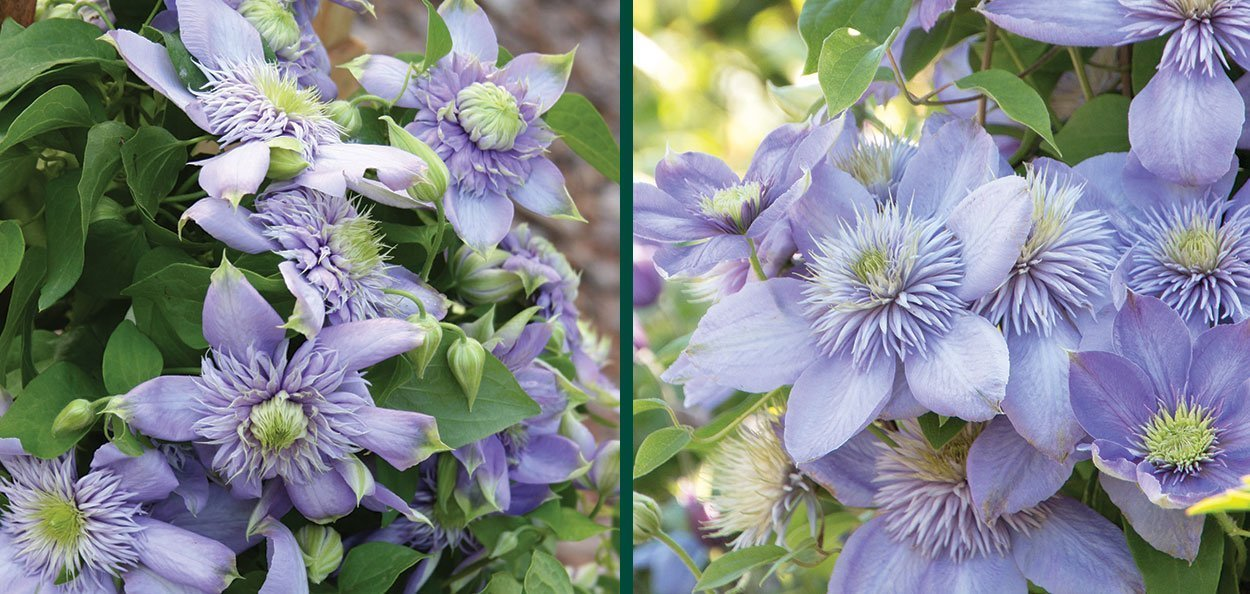 blue light clematis vanso large blue flowering double flowers in spring and fall