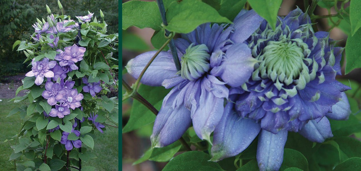 blue light clematis vanso large blue flowering vines near you