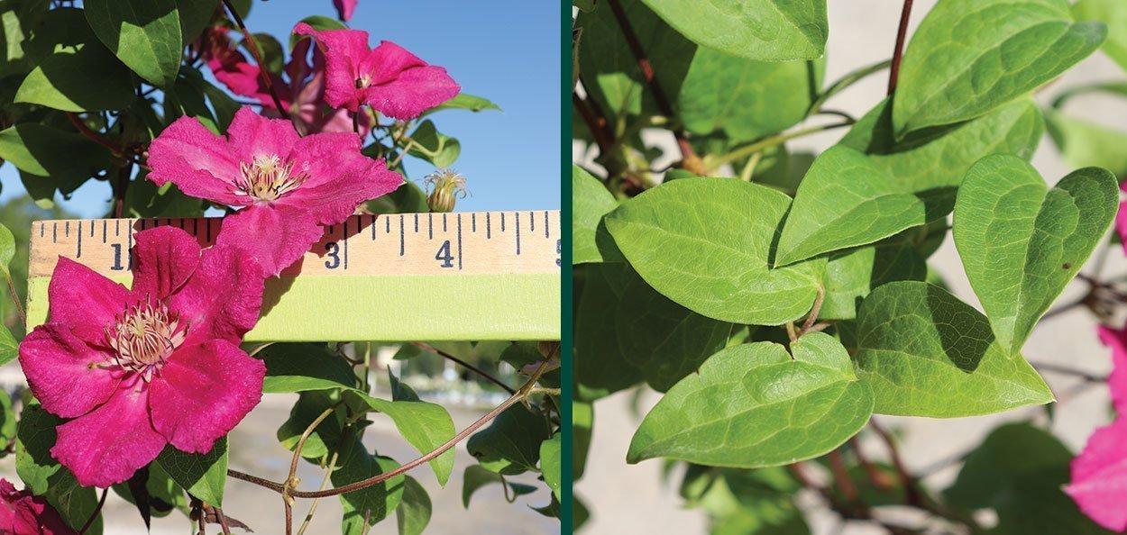 ernest markham clematis magenta red flower measurement
