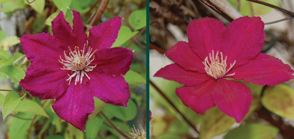ernest markham clematis magenta red flowers