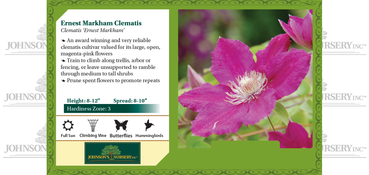 ernest markham clematis near you at johnson's nursery benchcard