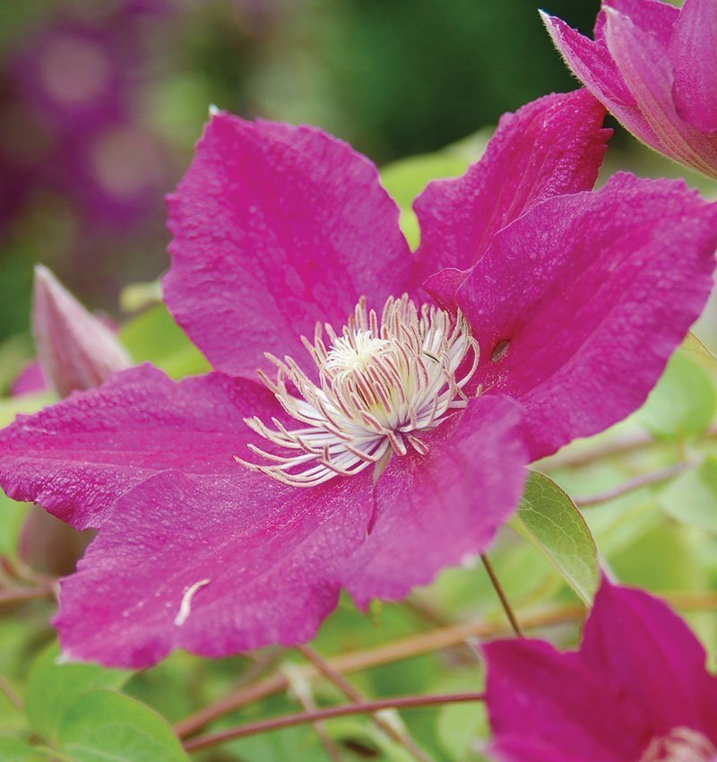 ernest markham clematis near you at johnson's nursery in menomonee falls wisconsin ftimg