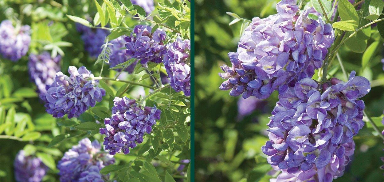 find amethyst falls wisteria frutescens vines johnson's nursery near you purple flower vine