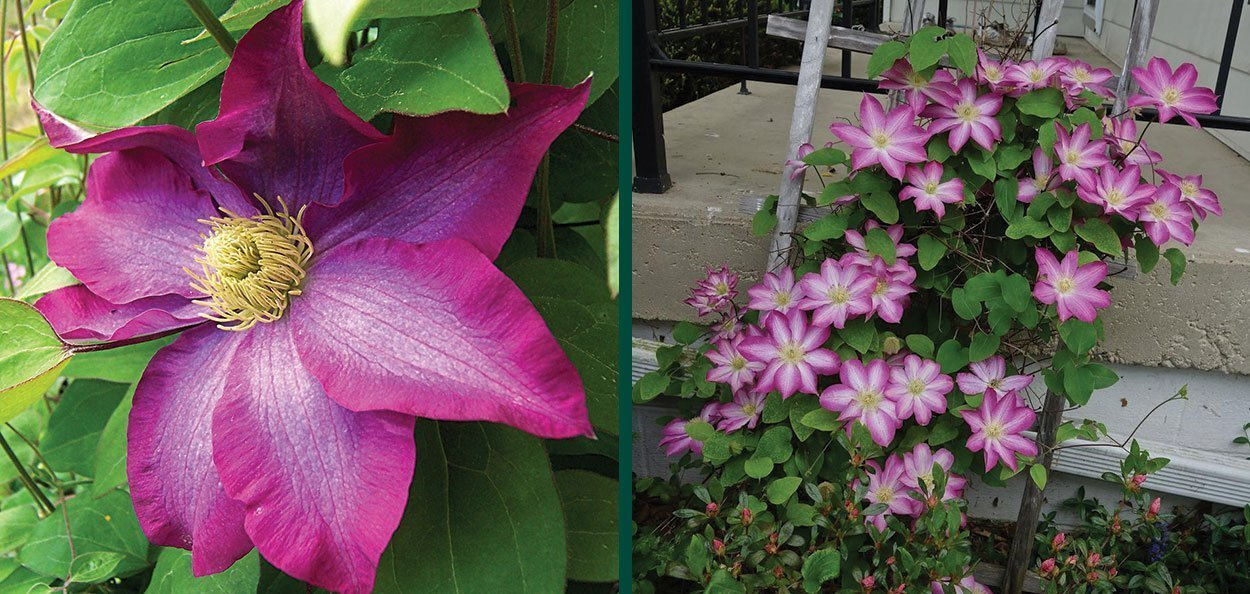 find pink champagne clematis climbing vines in wisconsin