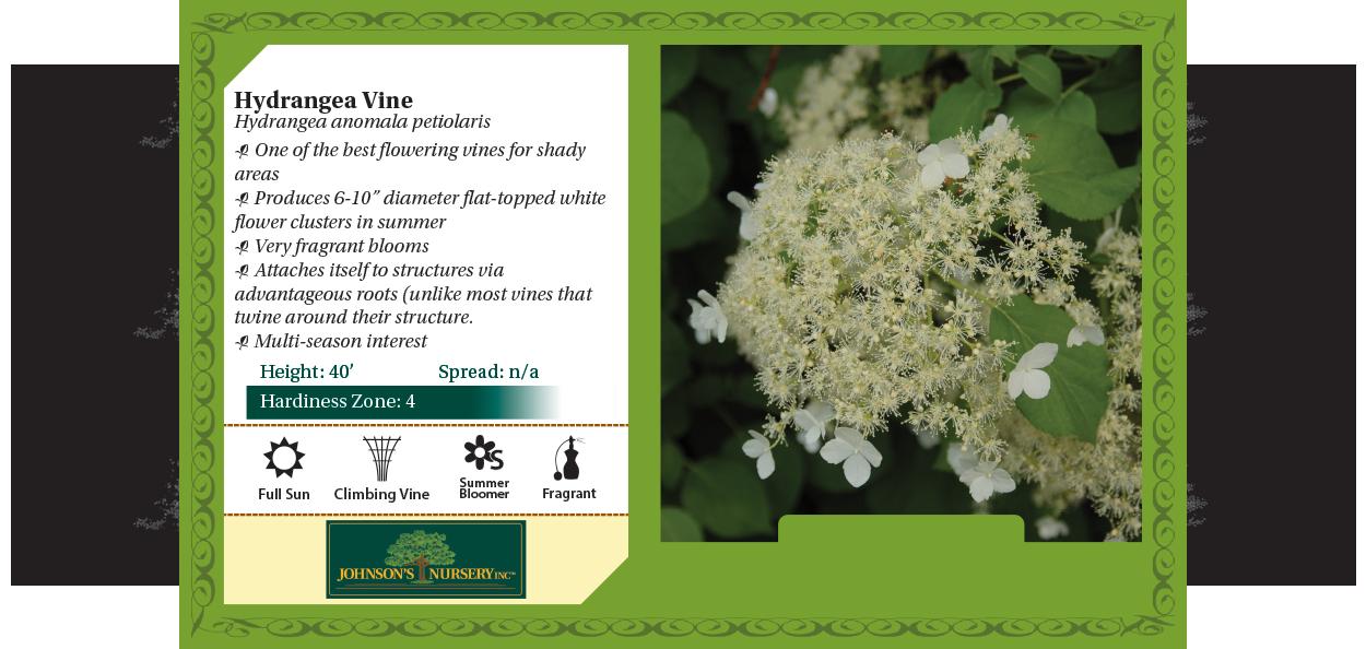 hydrangea vine anomala petiolaris large white summer flower benchcard