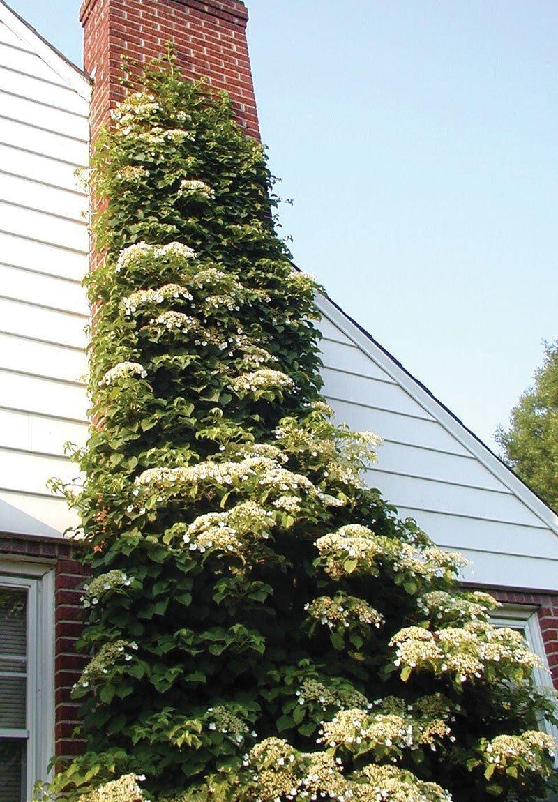 hydrangea vine anomala petiolaris large white summer flower ftimg