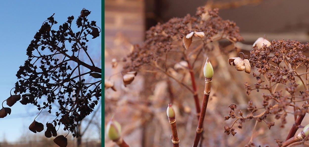 hydrangea vine anomala petiolaris winter interest buds spent flowers