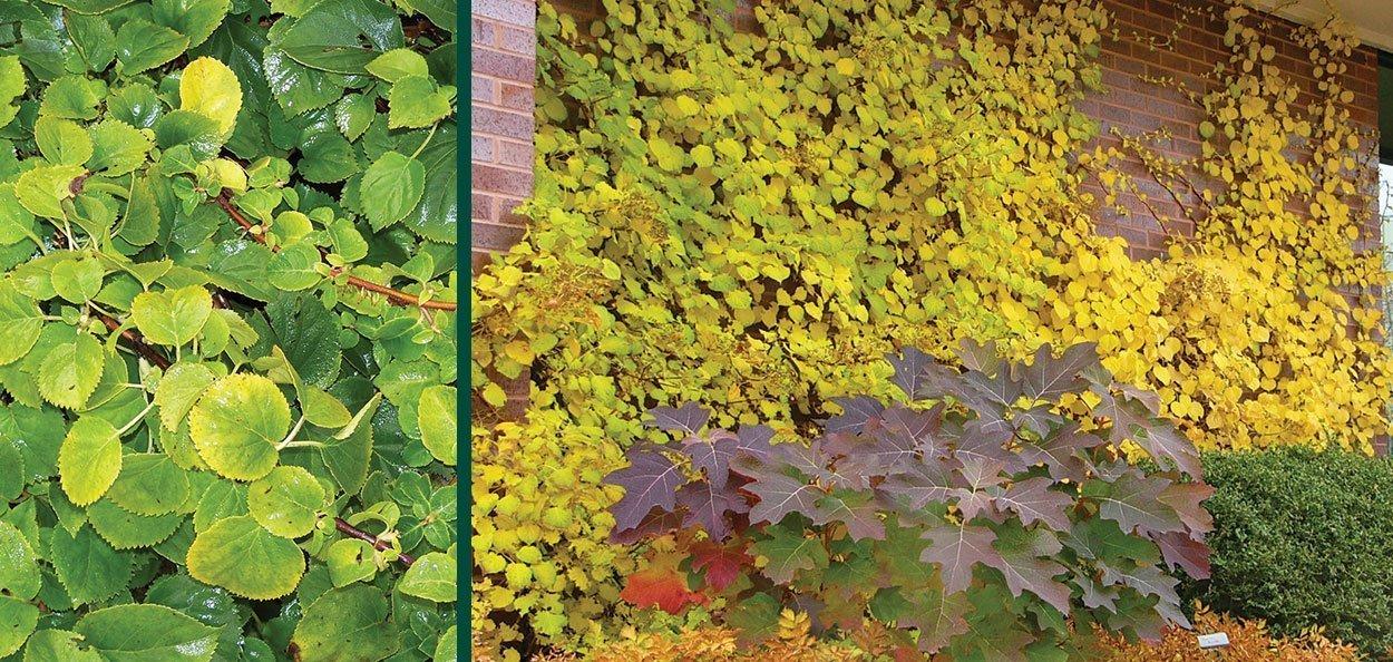 hydrangea vine fall color on a brick wall