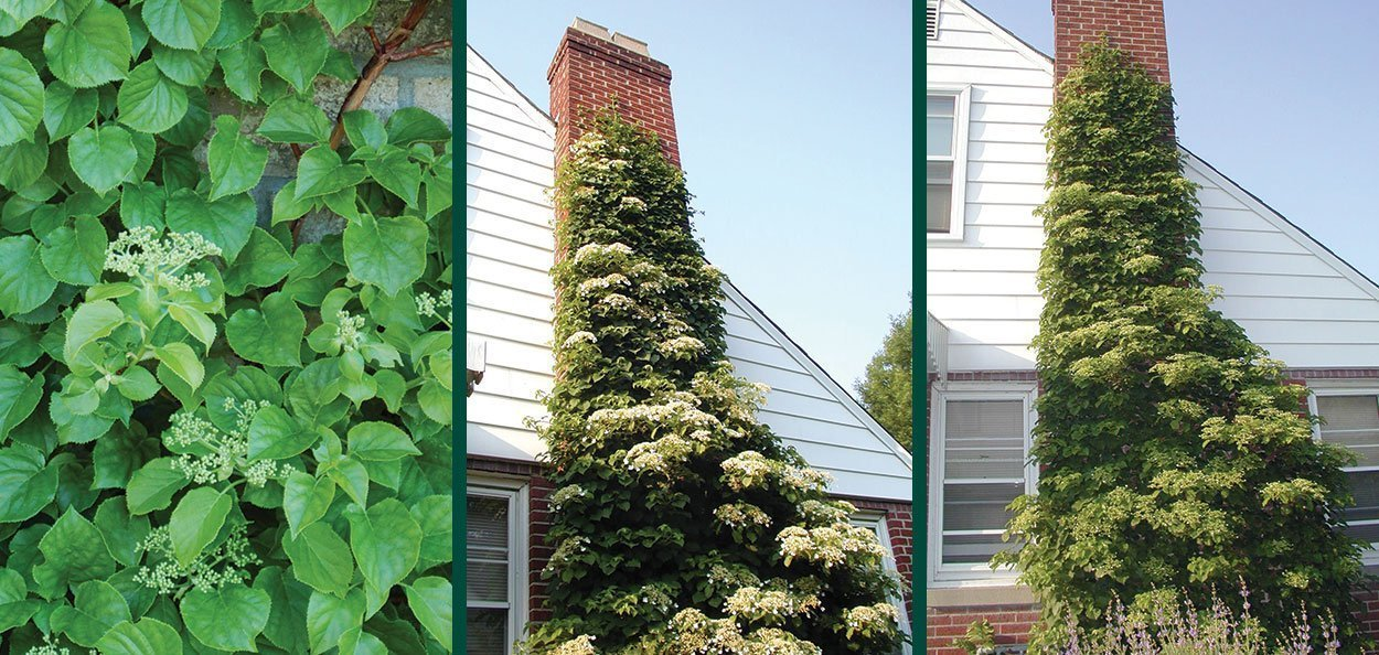 hydrangea vine flower foliage growing on a brick chimney