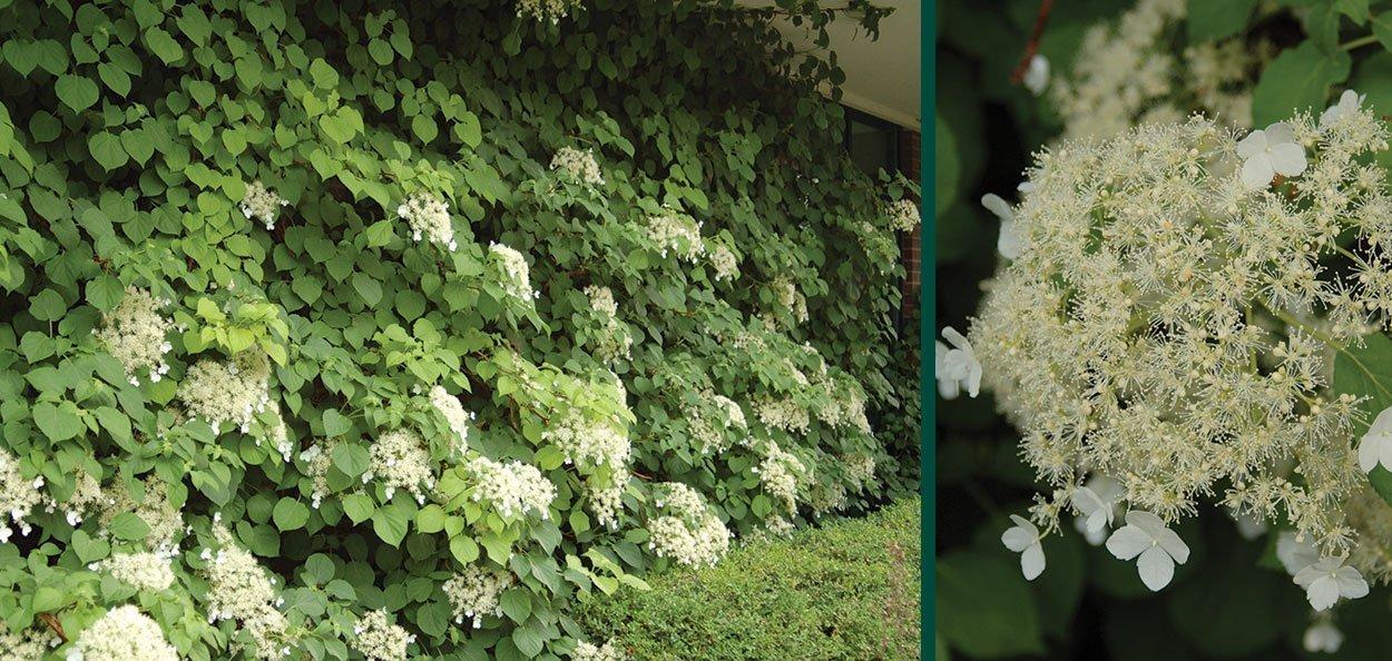 hydrangea vines in flower on a brick wall