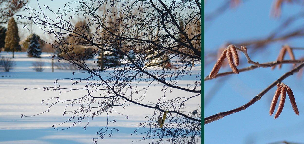 ironwood ostrya virginiana wisconsin native tree winter interest bark and catkins