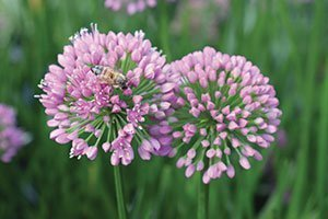 top selling perennial flowers millenium ornamental onion allium rose purple flower perennial catalog
