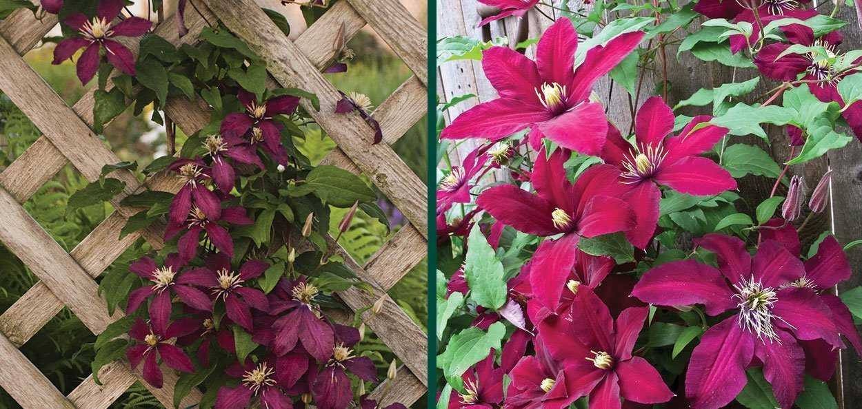 niobe clematis vines on trellis with ruby red flowers