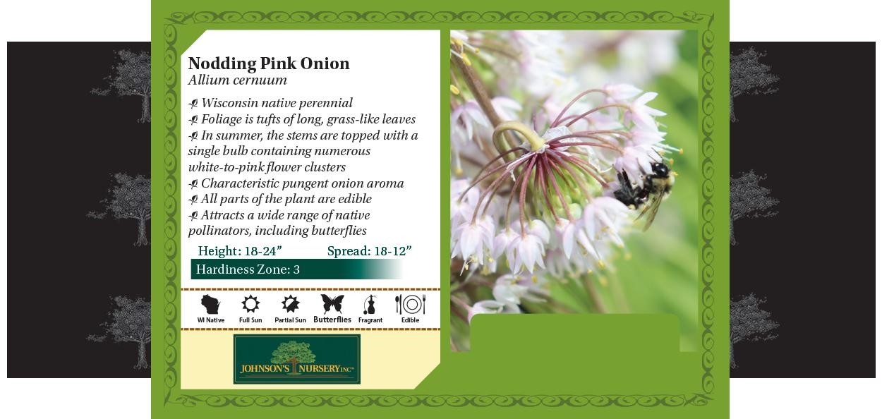 nodding pink onion allium cernuum wisconsin native flower perennials benchcard