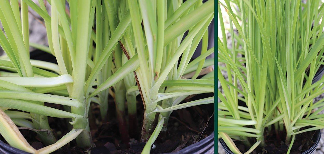 nodding pink onion allium cernuum wisconsin native foliage closeup