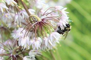 nodding pink onion allium cernuum wisconsin natives catalog
