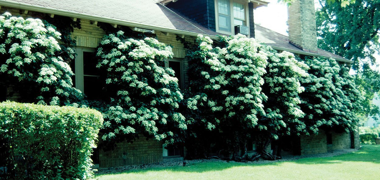 old picture of hydrangea vine growing on brick house