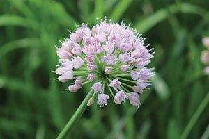 summer beauty ornamental onion allium at johnson's nursery catalog