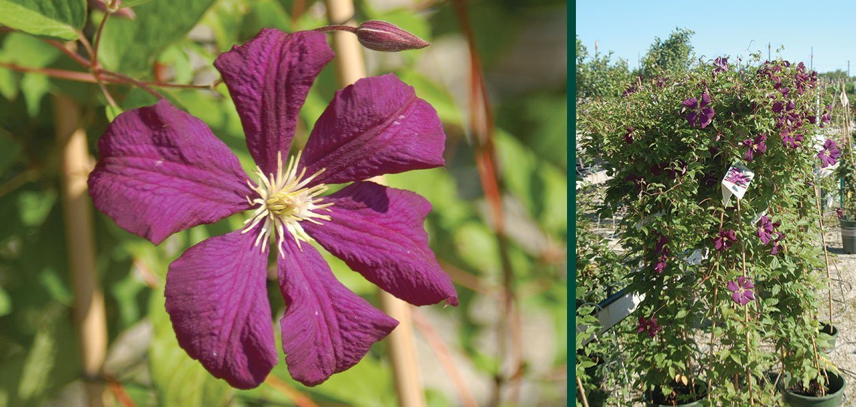 superba jackman clematis violet purple flowering vines near you