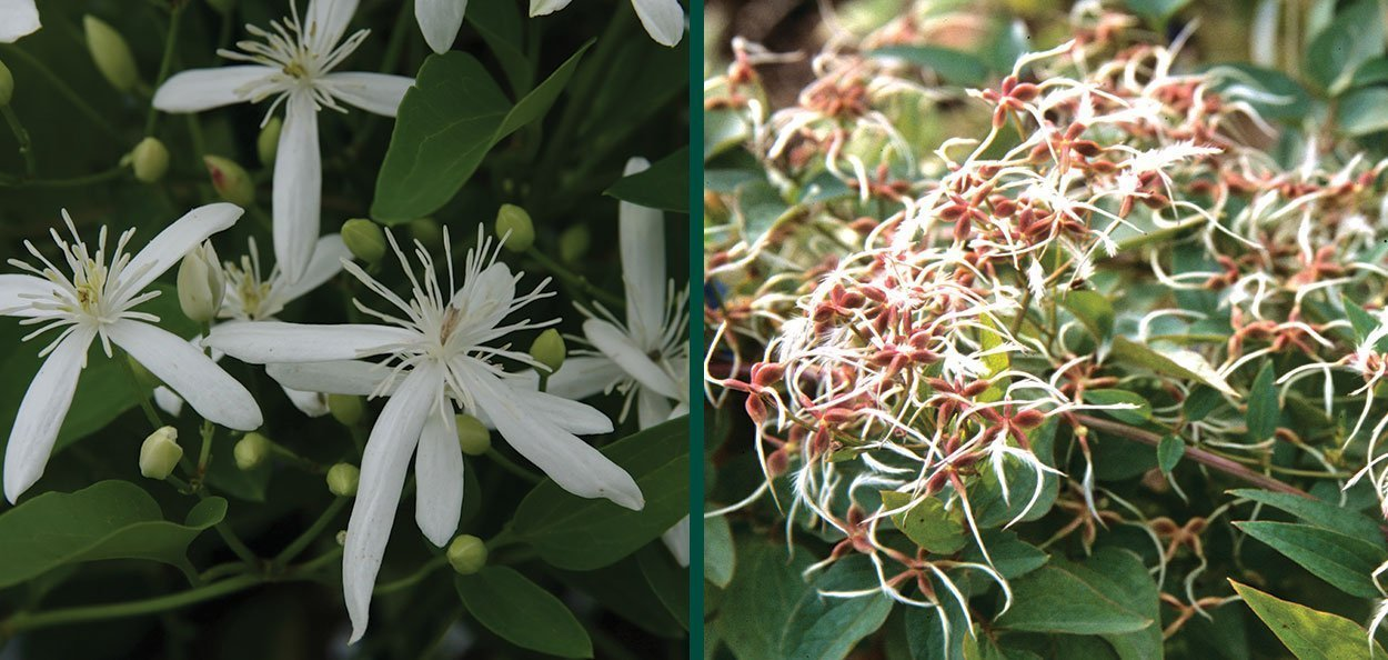 sweet autumn clematis paniculata vine flowers then leaves feathery seed heads