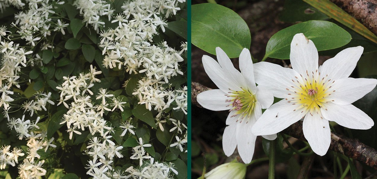 sweet autumn clematis paniculata vine forms cloud of fresh scent flowers