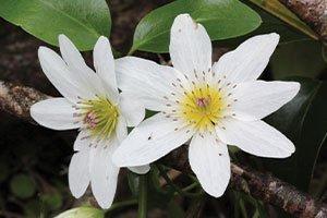 sweet autumn clematis paniculata vines at johnson's nursery catalog