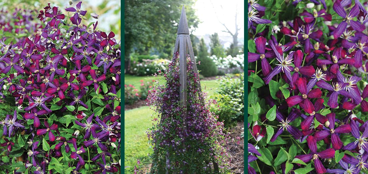 sweet summer love clematis purple flowering vines near you