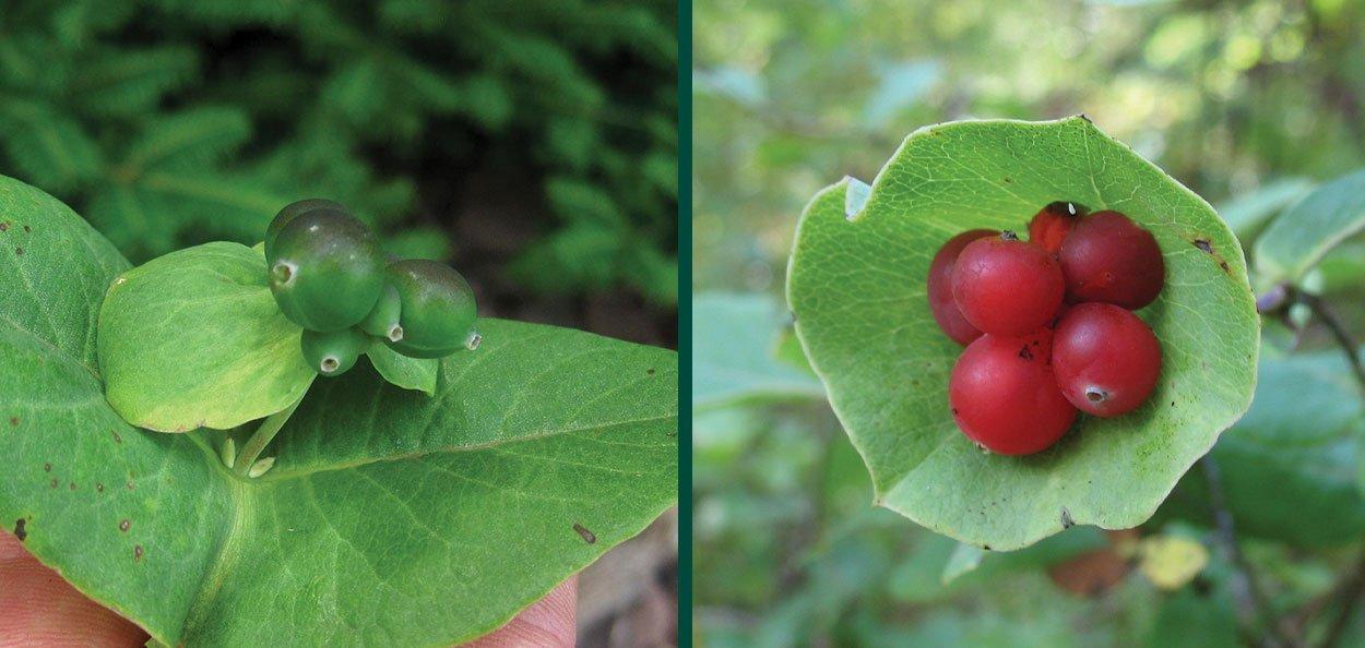 the fruit on limber honeysuckle start green then mature to red orange
