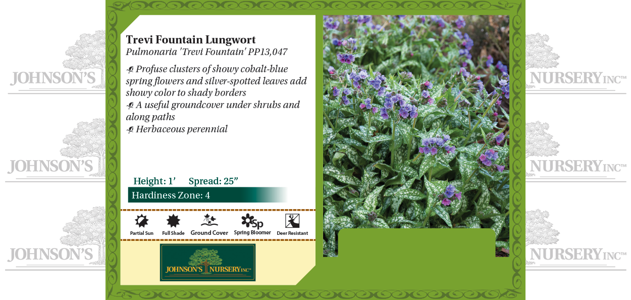 Trevi Fountain Lungwort Pulmonaria 'Trevi Fountain' PP13,047 benchcard