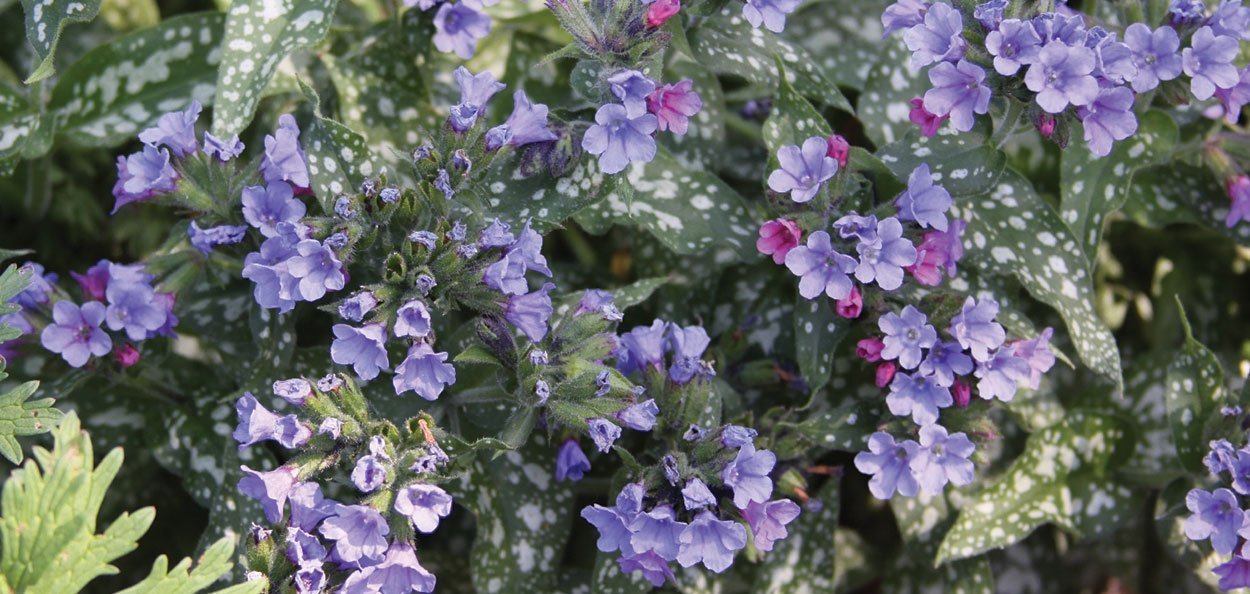 trevi fountain lungwort pulmonaria blue flower garden perennial