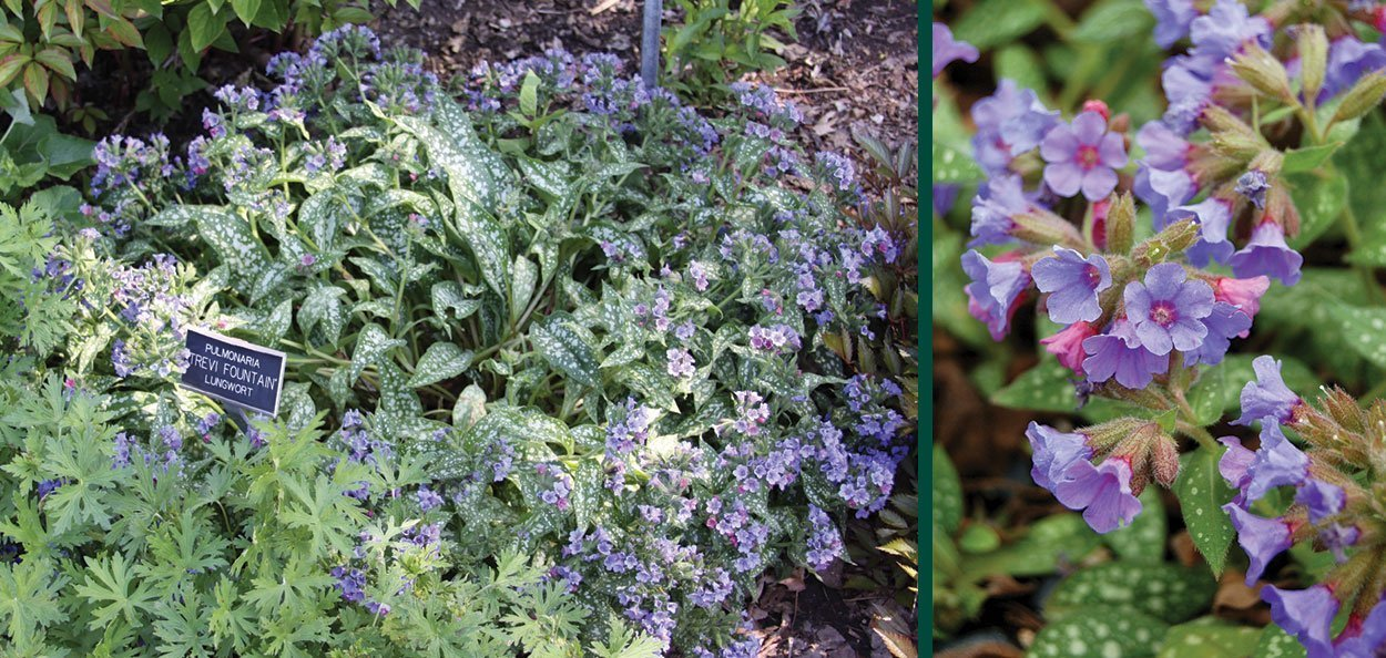 trevi fountain lungwort pulmonaria blue flower groundcover perennial