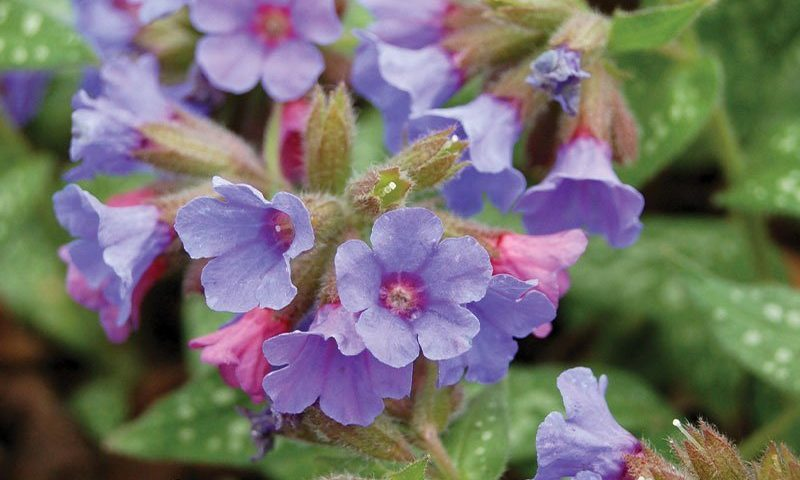 trevi fountain lungwort pulmonaria ftimg