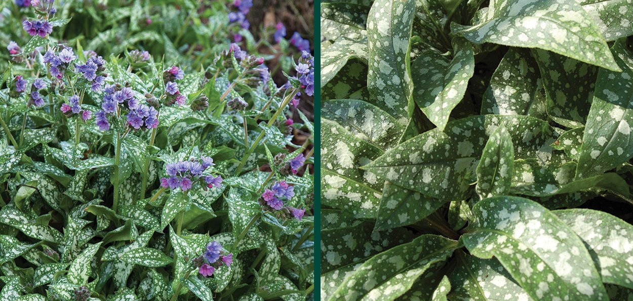trevi fountain lungwort pulmonaria silver spot foliage