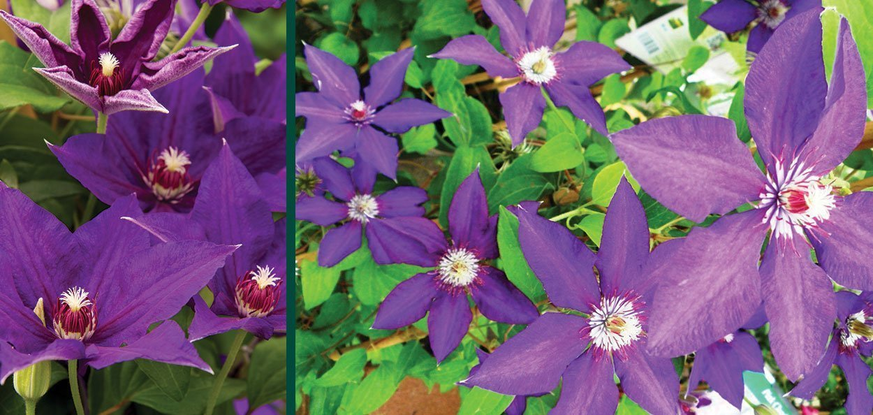 vancouver danielle clematis purple flowering climbing vines in wisconsin