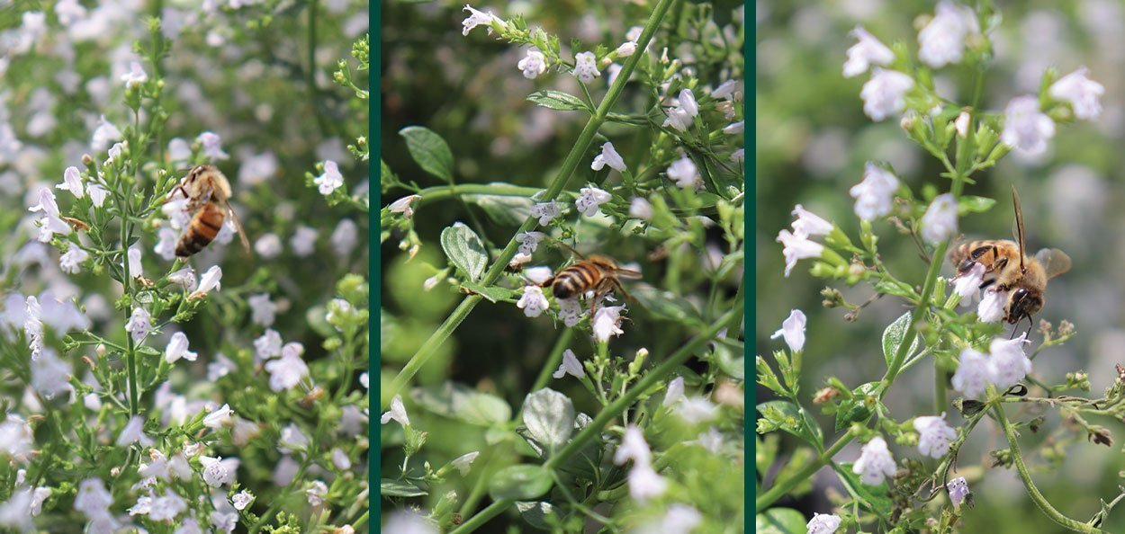 2021 plant of the year montrose white calamint at johnson's nursery in menomonee falls bees pollinators on white flower perennial
